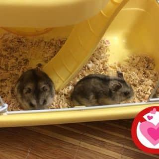 Hamster ROBO 3 tháng tuổi  của lehaoyen tại Hà Nội - 1415353