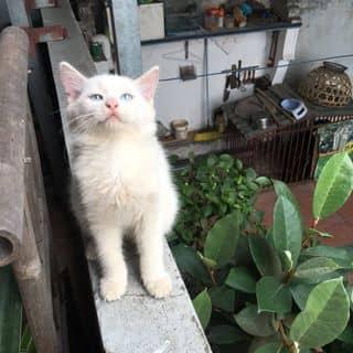 Bán 2 bé mèo Anh lông dài ở Hà Nội của tuanthieugia20 tại Hà Nội - 3212404