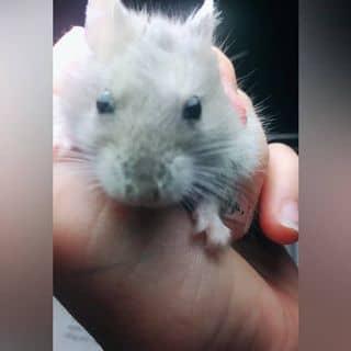 Bán chuột hamster Winter White  của vytitt tại Hà Nội - 2837908