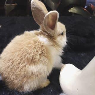 Bán Thỏ 😭 của tholun tại Hà Nội - 2872105