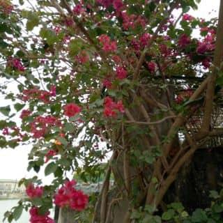 Cây  hoa giấy của giang7887 tại Hà Nội - 2692354
