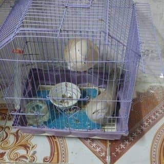 Chim cu gáy pháp của thuannguyen37 tại Hà Nội - 1625371