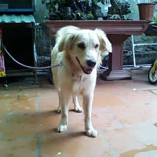 Chó golden của tungbui23 tại Hà Nội - 2759314