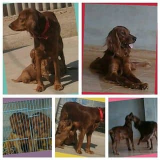Chó Irish Setter của Aí Nhĩ Lan của buikts tại Hà Nội - 2651092
