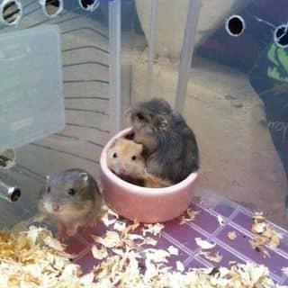 Hamster của bondjame tại Hà Nội - 2905801