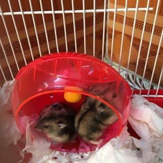 Hamster của thomaii tại Hà Nội - 2681772