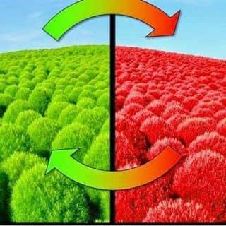 Hạt giống cỏ đổi màu của vongon tại Hà Nội - 2690643