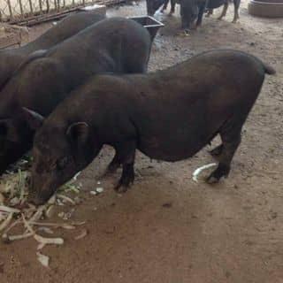 Lợn mán của nguoikhongphoi tại Hà Nội - 2899033