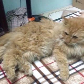 Mèo Anh lông dài của nguyenhonganh515 tại Hà Nội - 2887463
