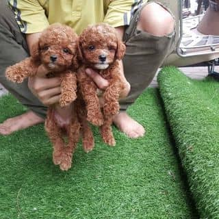 Poodle tiny 2 tháng tuổi của evisu tại Hà Nội - 3204007