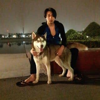 Tìm vợ cho husky nâu đỏ...bao đậu ạ,e ở Trần Cung-Cổ Nhuế -Hà Nội...ace nào kết liên hệ 0962135268 của bebehattieu tại Hà Nội - 2715396